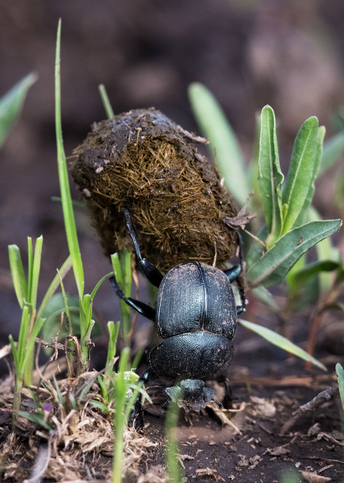 the mighty dung beetle These cool critters may be small, but boy are they are they mighty in fact, in  relation to its size the dung beetle is not only the world's strongest insect – it's the .