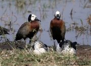 White-faced Whistling Ducks and Knob-billed Ducks