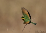 Little Bee-eater Taking Flight