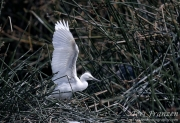 Nestling Egret