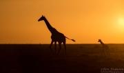 Giraffes at Sunrise in Serengeti