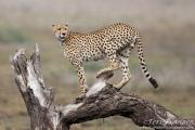 Injured Male Cheetah