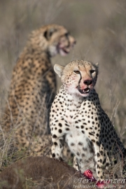 Cheetah Brothers Sharing a Wildebeest