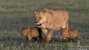 Lioness with Young Cubs