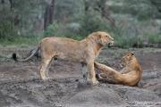Short-Maned Lions