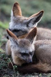 Bat-eared Foxes