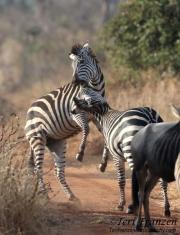Zebra Skirmish