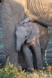 Young Elephant Snuggling Mama