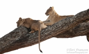 Young Lions on a Tree