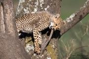 Curious Cheetah Cub