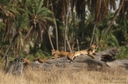 Lion Family on a Tree