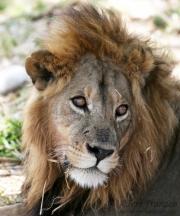 Portrait of a Wild Lion