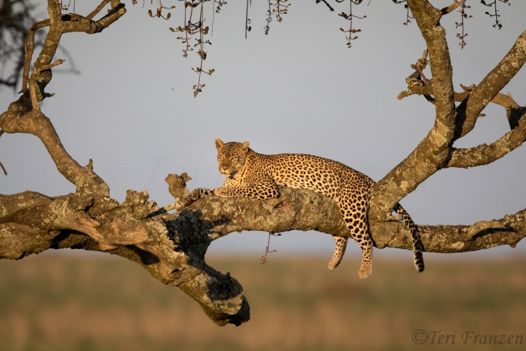 Female Leopard in Golden Light