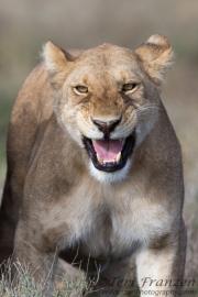 Lioness Flehmen Response