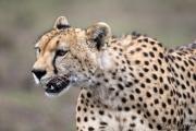 Injured Adult Cheetah