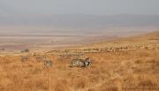 Zebras and Wildebeest in Ngorongoro