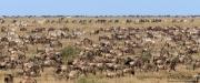 Wildebeest and Zebras Abound in Ndutu