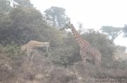 Giraffes in Fog