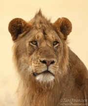 Young Lion Portrait 1