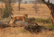 Lion Family at Sunset