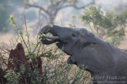 Elephant Eating over a Termite Mound