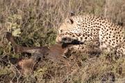 Cheetah with Wildebeest