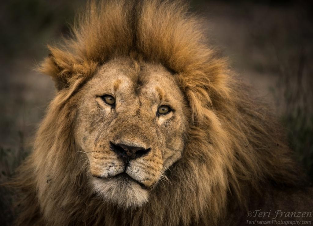 Lion of Ndutu