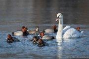Mute Swan among the redhead ducks