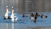 Mute Swans and Redheads