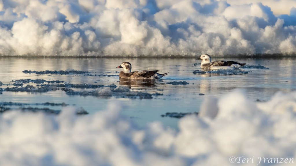 Wintering Long-tailed Ducks swimming amid the ice floes on Lake Ontario