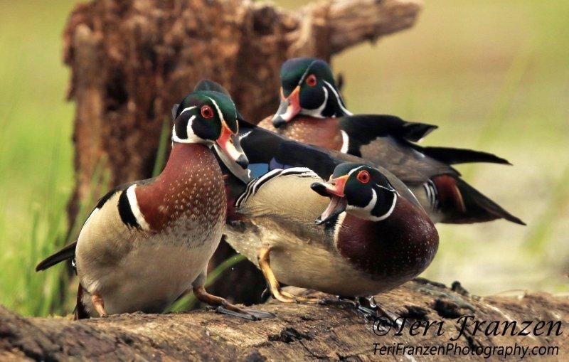 Wood Duck Boys Club