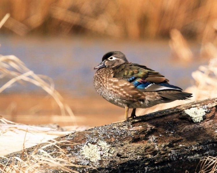 Hen Wood Duck