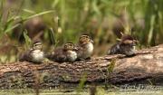 Wood Ducks/Hooded Merganser