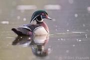 Drake wood duck in nuptial plumage
