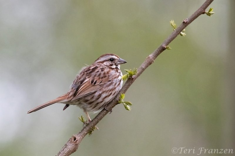Song sparrows often serenaded me during my mornings at the pond