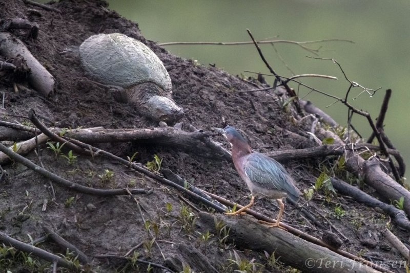 Green heron and snapping turtle, sizing each other up