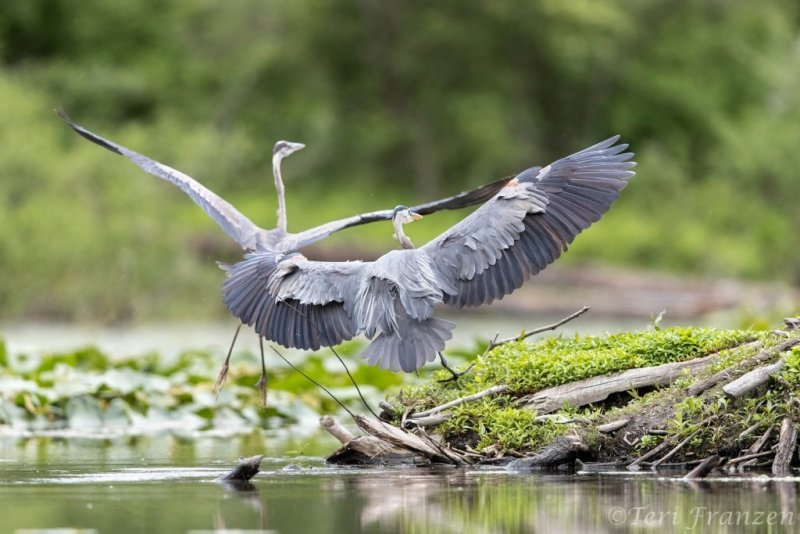 Great blue herons are territorial, perferring to hunt alone