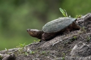 Snapping turtle on the beaver lodge