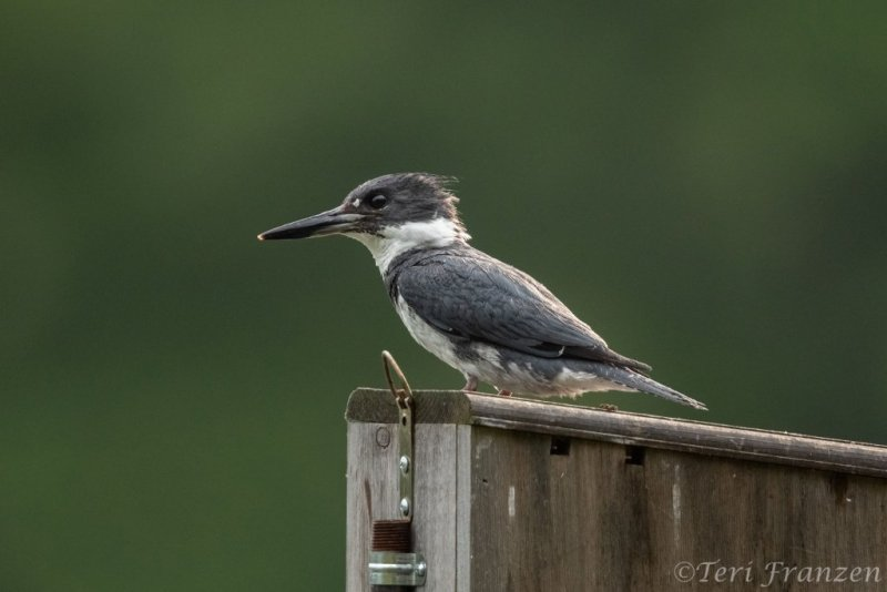 Belted kingfishers prefer high perches from which to hunt