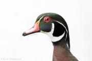 Drake wood duck one rainy morning