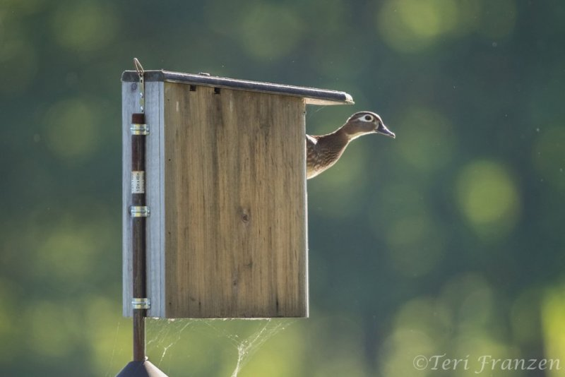 Hen Wood duck peering out to assess the safety of the area