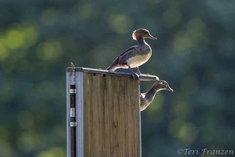Hen hooded merganser and wood duck, just before the leap