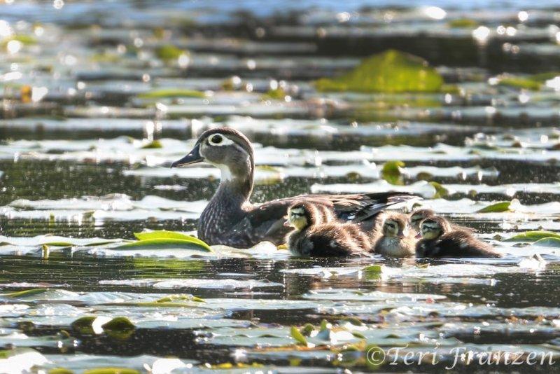 Small wood duck brood,
