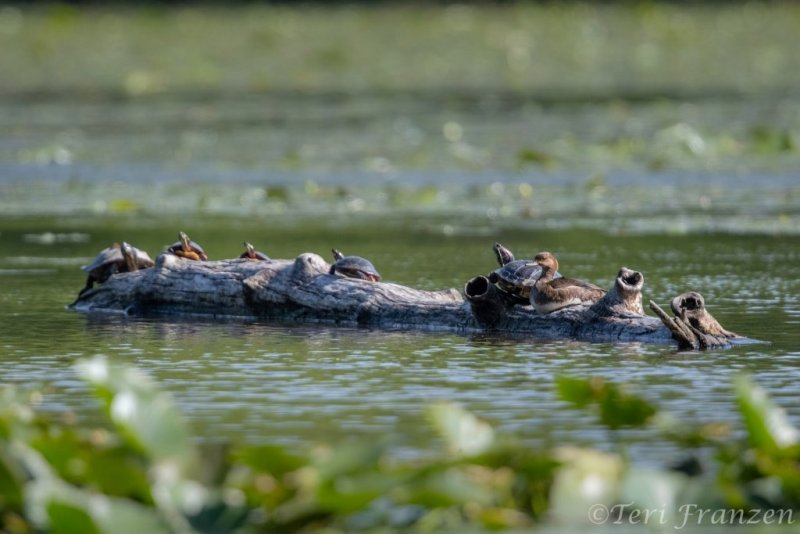 Hen wood duck joining the turtles after the box had emptied.