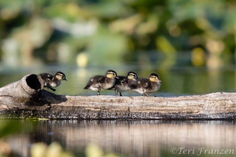 Wood ducklings
