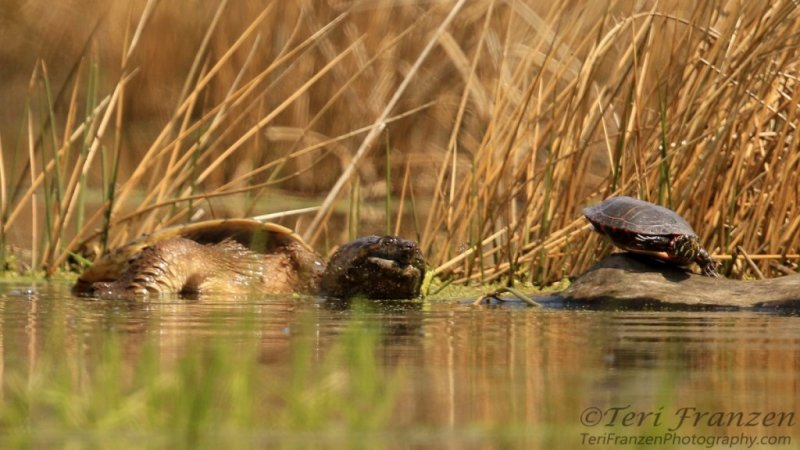 Painted Turtle and Snapping Turtle