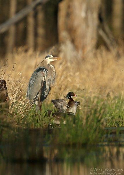 Great Blue Heron and Wood Ducks