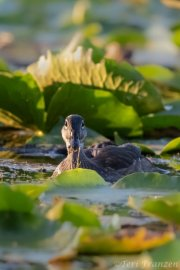 Late season young drake wood duck 2019