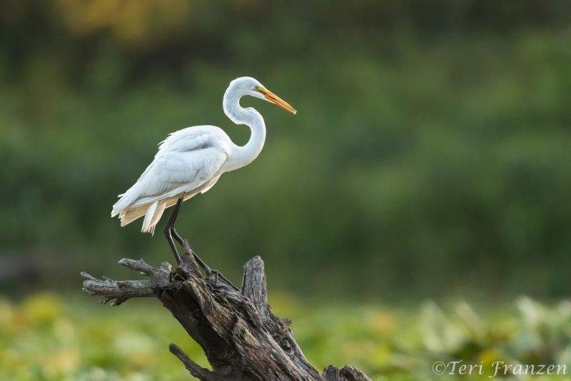 Great Egret of Brick Pond