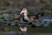 Young Drake Wood Duck